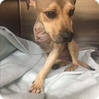 Adopt A Pet :: Maggie - GREENLAWN, NY