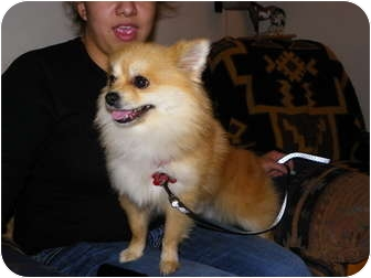 Pomeranian Dog for adoption in Hesperus, Colorado - Bojangles