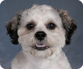 lhasa apso and shih tzu mix henry adopted dog chicago il lhasa apso shih tzu mix 8682