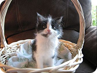 Domestic Longhair Kitten for adoption in Sterling Hgts, Michigan - Flower
