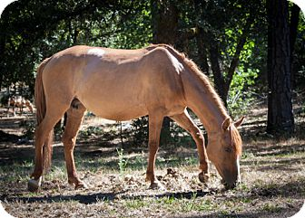 Quarterhorse Mix for adoption in El Dorado Hills, California - Tika