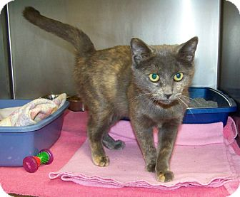 Domestic Shorthair Cat for adoption in Dover, Ohio - Adella