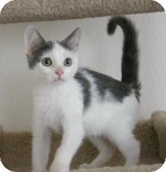 Domestic Shorthair Cat for adoption in Sacramento, California - Squirrel