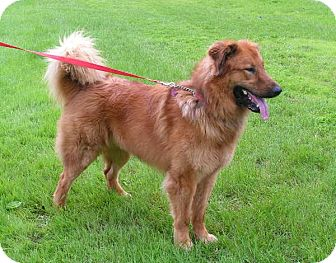 Golden Retriever/German Shepherd Dog Mix Dog for adoption in Rigaud, Quebec - Samson