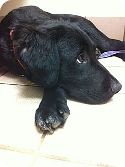 Golden Retriever/Flat-Coated Retriever Mix Puppy for adoption in Manchester, New Hampshire - Boss
