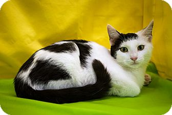 Domestic Shorthair Kitten for adoption in Jersey City, New Jersey - Flounder