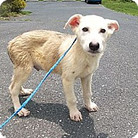 Adopt A Pet :: Bentley - Augusta County, VA