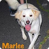 Adopt A Pet :: *Marlee - PENDING - Westport, CT