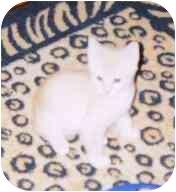 Domestic Shorthair Kitten for adoption in Fayette, Missouri - Ziggy Stardust