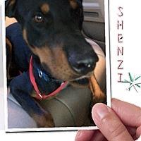 Adopt A Pet :: Shenzi - Gilbert, AZ
