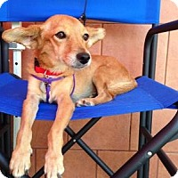 Adopt A Pet :: Pippi - North Hollywood, CA