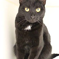 Domestic Shorthair Cat for adoption in Merrifield, Virginia - Sunshine