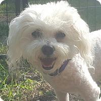 Adopt A Pet :: Cotton - Wichita, KS