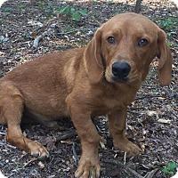 Adopt A Pet :: Curley - Brattleboro, VT