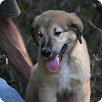 Adopt A Pet :: Brock - Charlemont, MA