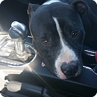 Boston Terrier/Pit Bull Terrier Mix Dog for adoption in Jacksonville Beach, Florida - Ninja