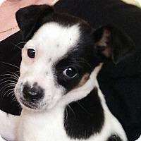 Adopt A Pet :: Harlequinn - Thousand Oaks, CA
