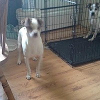 Jack Russell Terrier Mix Dog for adoption in Columbia, Tennessee - Dixie/VA