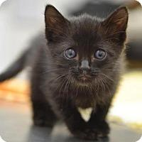 Adopt A Pet :: Ichiban - DFW Metroplex, TX