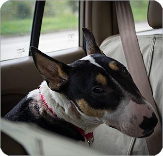 Bull Terrier Dog for adoption in Houston, Texas - Elizabeth