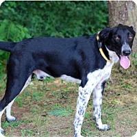Border Collie/Labrador Retriever Mix Dog for adoption in Franklin, Tennessee - CASH
