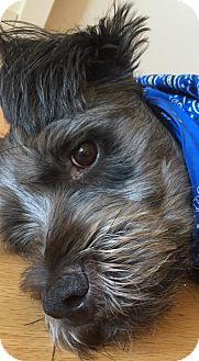 Standard Schnauzer Mix Dog for adoption in Rockville, Maryland - Woofy