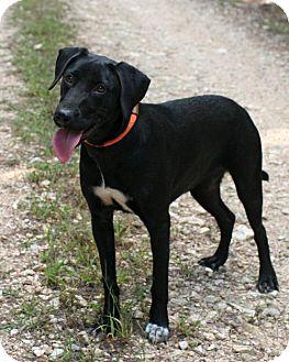 German Shorthaired Pointer/Labrador Retriever Mix Dog for adoption in Rochester, New York - Astrid
