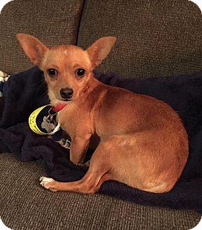 Chihuahua Mix Dog for adoption in Denver, Colorado - Jillian