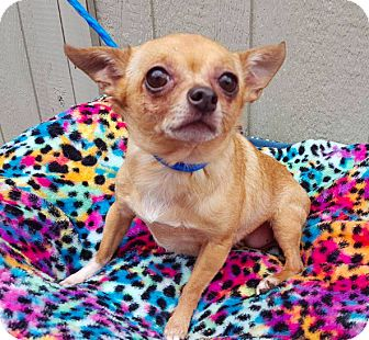 Chihuahua Dog for adoption in New York, New York - Pansy **FOSTER NEEDED**