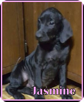 Catahoula Leopard Dog/Labrador Retriever Mix Puppy for adoption in Ringwood, New Jersey - Jasmine