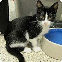 Domestic Shorthair Kitten for adoption in Georgetown, Texas - Mary