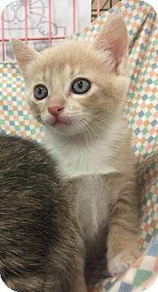Domestic Shorthair Kitten for adoption in Boynton Beach, Florida - Latte