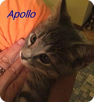 Domestic Shorthair Kitten for adoption in Chisholm, Minnesota - Apollo