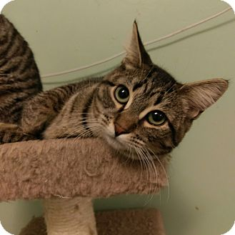 Domestic Shorthair Cat for adoption in East Hartford, Connecticut - Fritzie