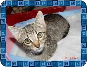 Domestic Shorthair Kitten for adoption in KANSAS, Missouri - Bugsy
