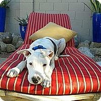 Adopt A Pet :: Alexander - Scottsdale, AZ