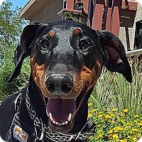 Adopt A Pet :: Elvira - Las Vegas, NV