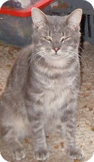 Domestic Shorthair Cat for adoption in Jacksonville, North Carolina - Hoshi