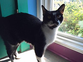 Domestic Shorthair Cat for adoption in Topeka, Kansas - Norbert