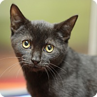 Domestic Shorthair Kitten for adoption in Marietta, Georgia - Torque