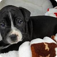 Adopt A Pet :: Moss - Manhattan, NY