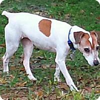 Adopt A Pet :: HOLLY-very active senior - Terra Ceia, FL