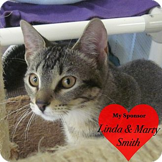 Domestic Shorthair Cat for adoption in San Leon, Texas - Madison