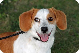 Beagle/Corgi Mix Puppy for adoption in Joliet, Illinois - Maxwell