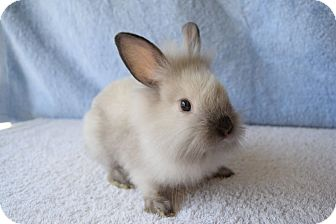 Lionhead Mix for adoption in Fountain Valley, California - Pumba