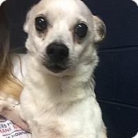 Adopt A Pet :: Petey - Cashiers, NC