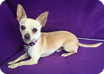 Chihuahua Mix Dog for adoption in San Diego, California - Tito