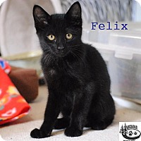Adopt A Pet :: Felix - Cuddly! - Huntsville, ON