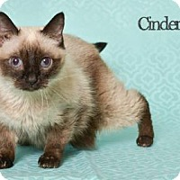 Siamese Cat for adoption in West Des Moines, Iowa - Cinderella