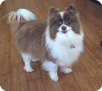 Pomeranian Dog for adoption in Rochester, Minnesota - Brandi